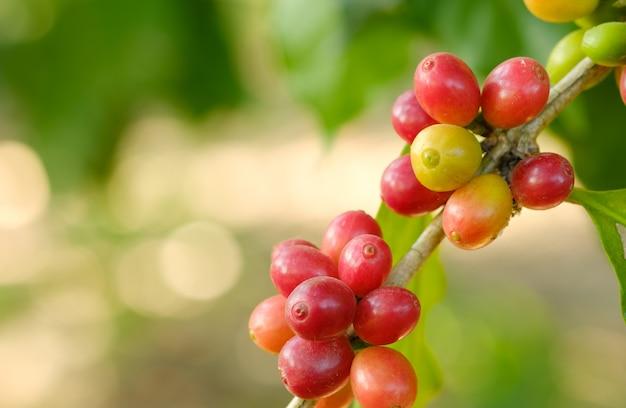 Bouchent Le Café En Grains Dans La Nature Photo Premium