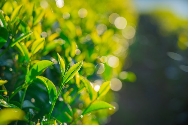 Bouchent Les Feuilles De Thé Vert Frais Dans La Forêt Du Matin Et Le Parc Naturel Vert Photo Premium