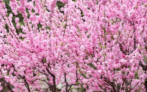 Bouchent la fleur de fleur de prunier rose sur l'arbre au printemps saisonnier, fond naturel Photo Premium