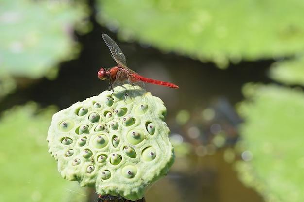Bouchent une libellule sur une fleur de lotus Photo Premium