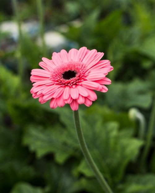 Bouchent marguerite rose dans le jardin Photo gratuit