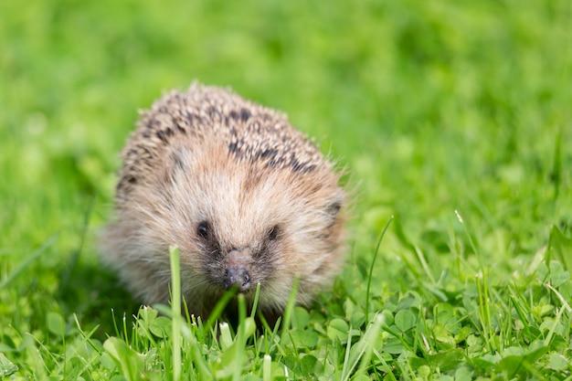 Bouchent le portrait du petit hérisson d'europe sur l'herbe verte Photo Premium