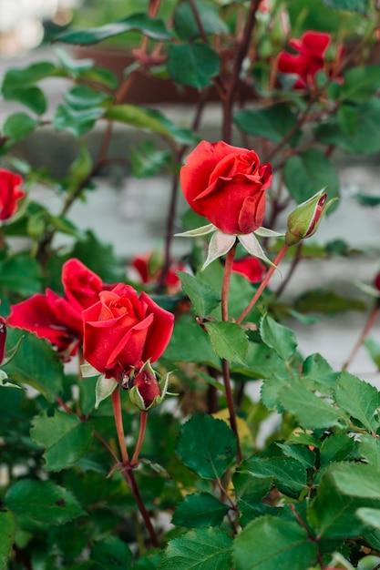 Bouchent les roses rouges dans le jardin Photo gratuit