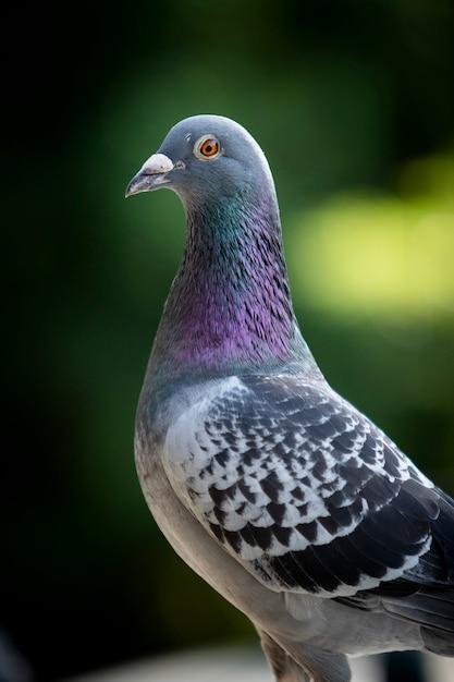 Bouchent la tête du pigeon voyageur sur un arrière-plan flou vert Photo Premium