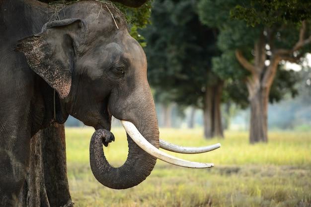 Bouchent la vue de la tête de l'éléphant asiatique photographié dans le cadre de la jungle de la thaïlande. Photo Premium
