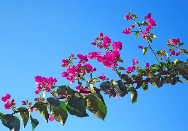 Bougainvillea glabra choisy ou fleur en papier, sur les arbres dans le ciel. Photo Premium