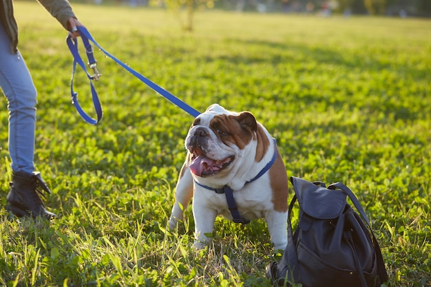 Bouledogue britannique jouer au parc Photo Premium