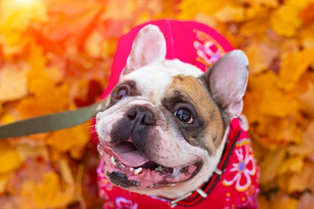 Bouledogue français en feuilles d'automne Photo Premium