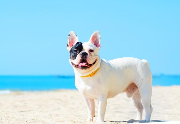 Bouledogue français se tenir sur la plage de sable Photo Premium