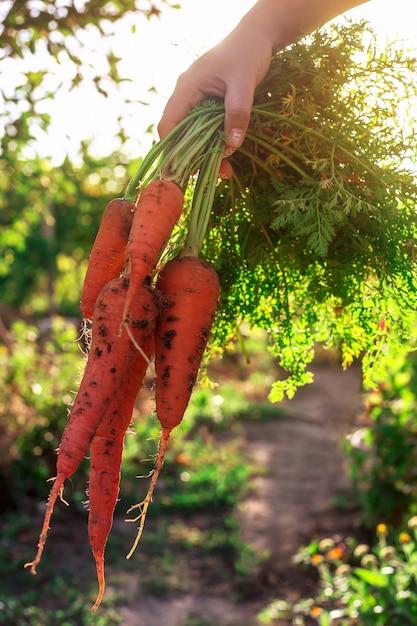 Un bouquet de carottes orange fraîches avec de la terre dans une main féminine Photo Premium