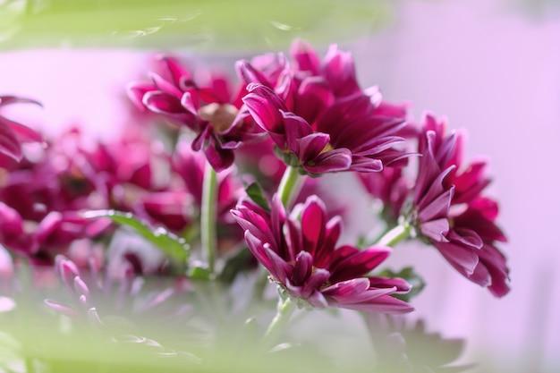 Un bouquet de chrysanthèmes fuchsia sur un fond rose flou vert. Photo Premium