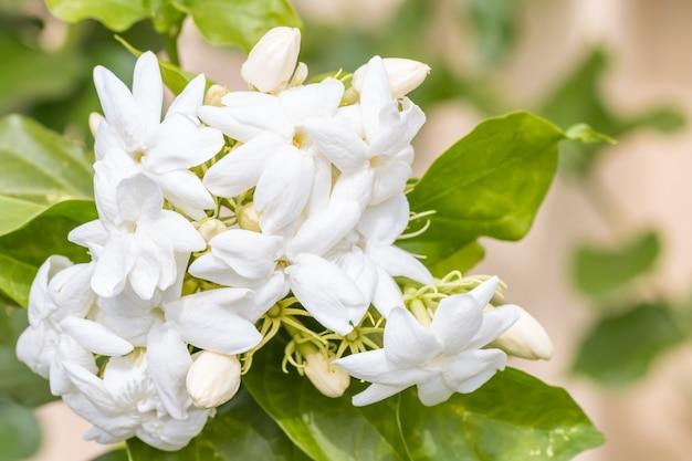 Bouquet de fleurs blanches, jasmin (jasminum sambac l.) Photo Premium