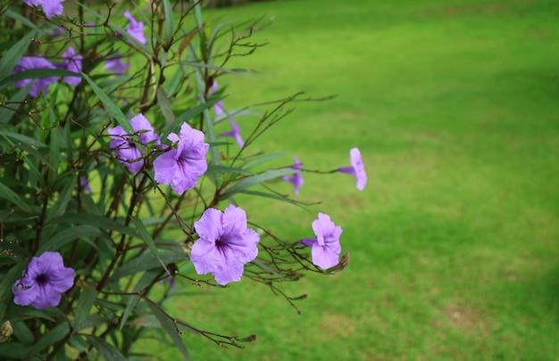 Bouquet de fleurs pourpres brillantes pourpres contre le gazon vert vibrant Photo Premium