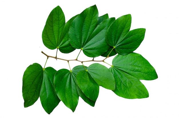 Le bouquet isolate de feuilles de chongkho décore le motif Photo Premium