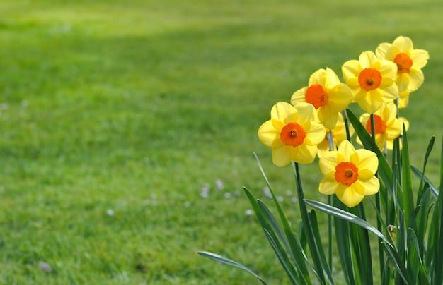 Bouquet de jonquilles Photo Premium