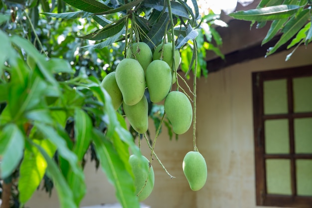 Bouquet de mangues crues en thaïlande Photo Premium