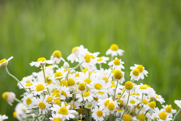 Bouquet de marguerites sur le terrain, gros plan, fond naturel Photo Premium