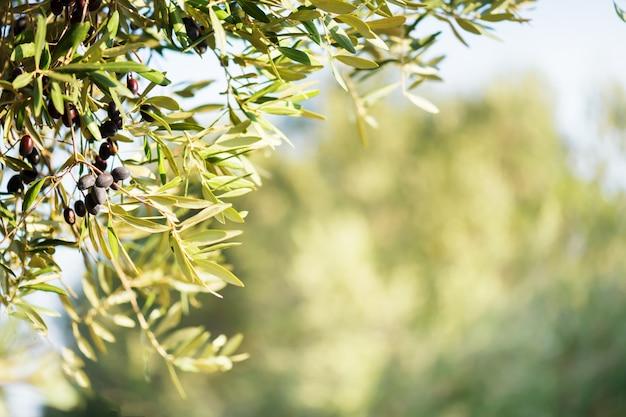 Bouquet D'olives Aux Olives Noires Mûres Sur Une Plantation D'oliviers Sur Un Flou. Espace Copie Photo Premium