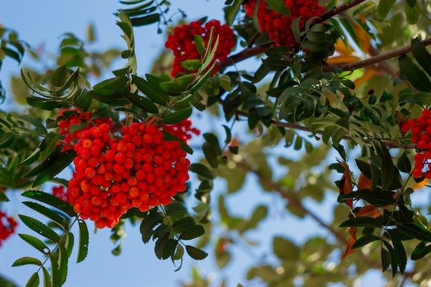 Bouquet rouge de rowan avec des feuilles contre le ciel bleu. branche de rowan coloré d'automne. Photo Premium