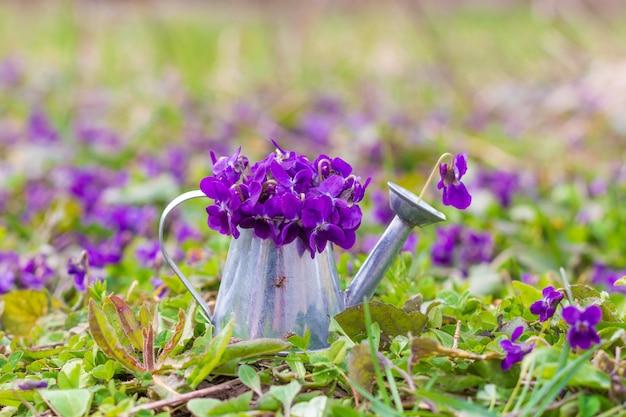 Bouquet de violettes forestières parfumées dans un arrosoir sur un pré vert un matin de printemps, gros plan Photo Premium