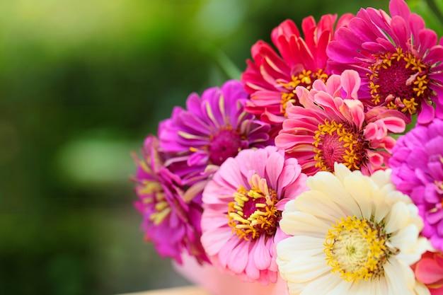Bouquet de zinnias roses, violets et blancs sur un flou vert Photo Premium