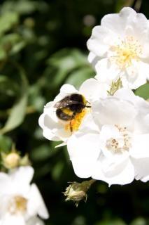 Bourdon Prendre Nectar Photo gratuit