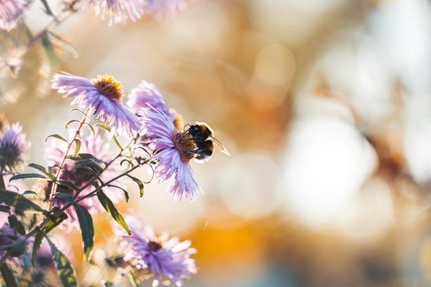 Bourdon ramassant le nectar avec des fleurs d'automne mauves Photo Premium