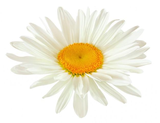 Bourgeon D'une Fleur De Marguerite Avec Des Pétales Blancs Isolés Photo Premium