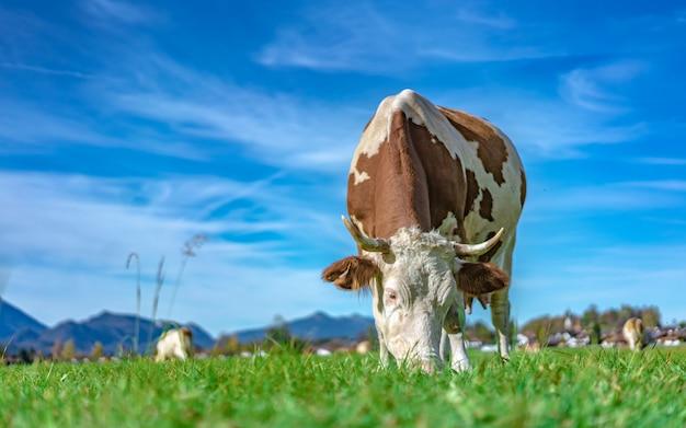 Bovins laitiers en bonne santé Photo Premium