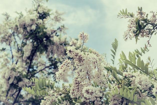 Branche d'acacia blanc en fleurs Photo Premium
