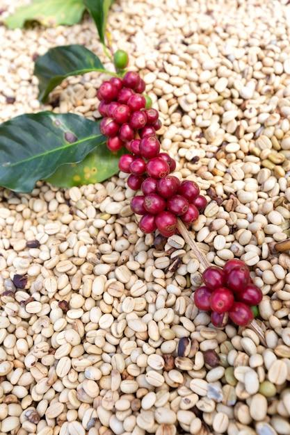 Branche de baies de café arabica, secteur de l'agriculture et de l'économie Photo Premium