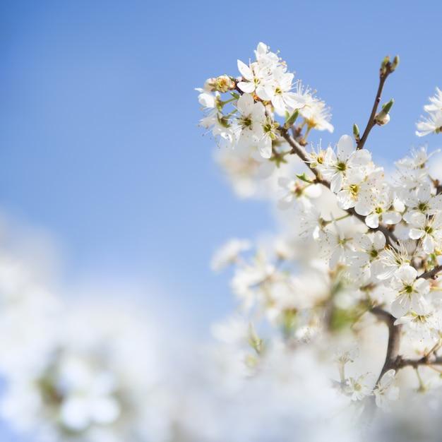 Branche de cerise Photo gratuit