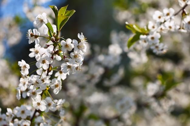 Branche de cerisier dans le jardin des fleurs Photo gratuit