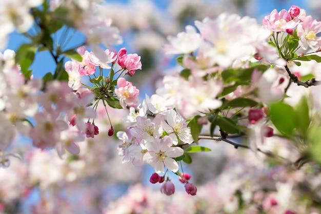 Branche de cerisier en fleurs. Photo Premium
