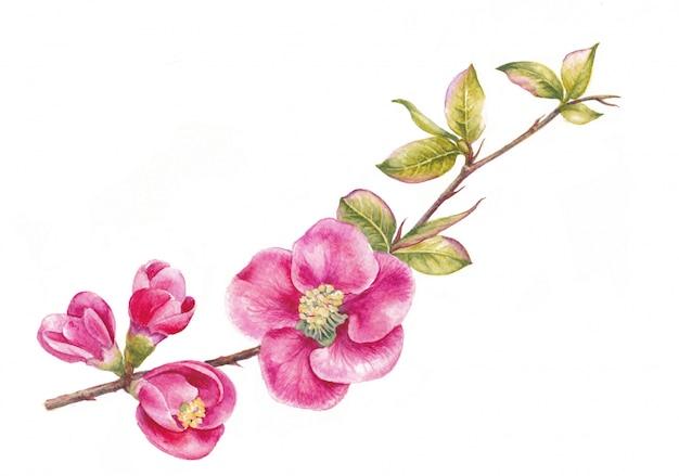 Branche de cerisier japonais sakura réaliste avec des fleurs épanouies. illustration aquarelle Photo Premium