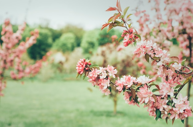 Branche De Cerisier Photo Premium