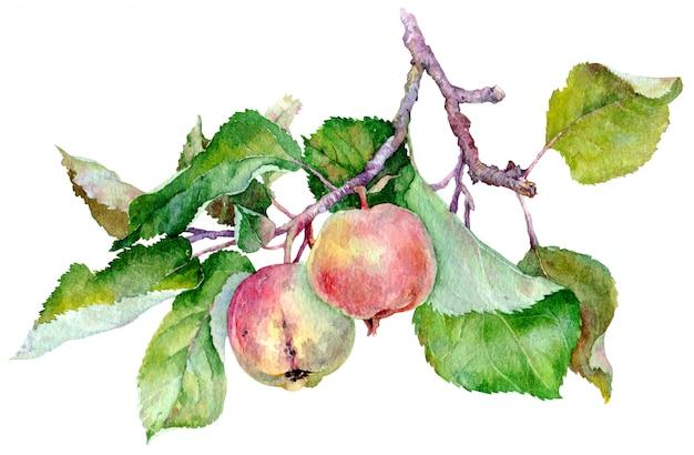 Branche avec deux pommes rouges et feuilles vertes. illustration aquarelle isolée sur fond blanc. Photo Premium