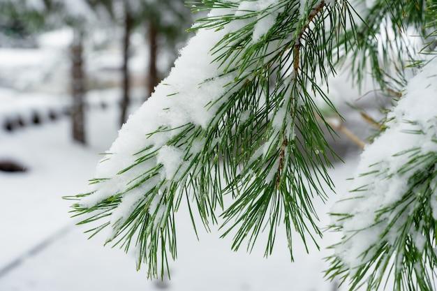 Branche d'épinette dans la neige blanche dans un parc de la ville close-up. Photo Premium