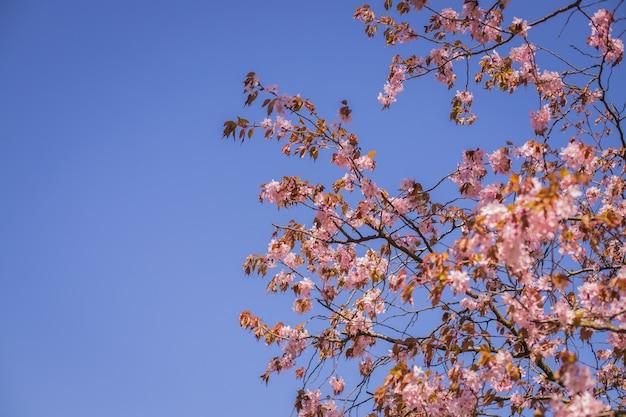 Branche de fleur de sakura rose à l'ombre des arbres sakura derrière le rayon de soleil et ciel bleu en arrière-plan Photo Premium