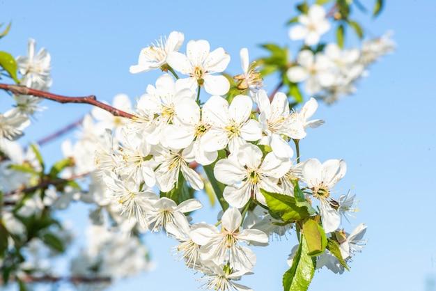 Branche de fleurs de cerisier en fleurs se bouchent Photo Premium