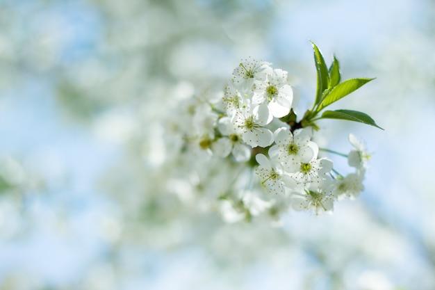 Une branche des fleurs de cerisier Photo Premium