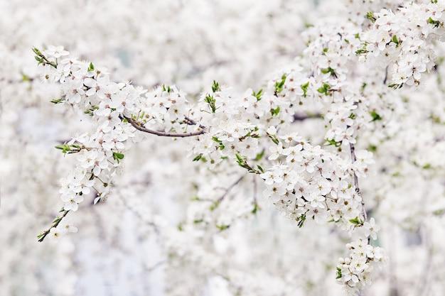 Branche florifère d'arbre fruitier. printemps. Photo Premium