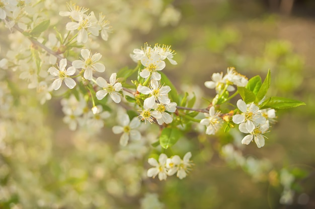 Branche florifère de fleurs de pomme et boutons de pomme. branche de pommier à feuilles vertes. concept de printemps. Photo Premium