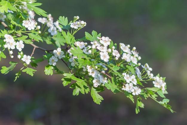 Branche florissante d'aubépine dans le jardin botanique Photo Premium
