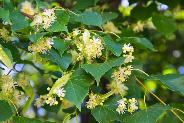 Branche de linden en fleurs Photo gratuit