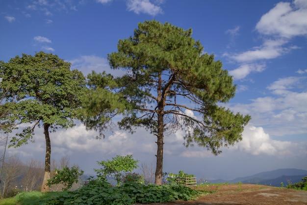 Branche de pin des montagnes Photo Premium