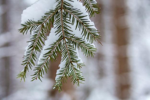 Branches D'arbres De Pin Avec Des Aiguilles Vertes Couvertes De Neige Propre Et Fraîche Sur Fond Bleu Flou Extérieur Copie Espace. Photo Premium
