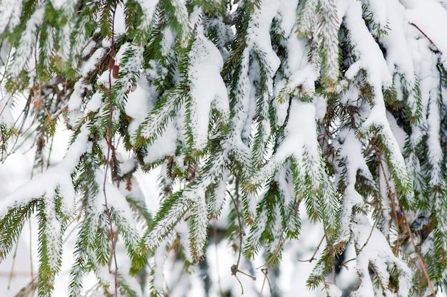 Les Branches D'épinette Sont Couvertes De Neige. Photo Premium
