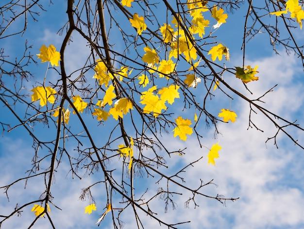 Branches d'érable automne sur ciel bleu Photo Premium