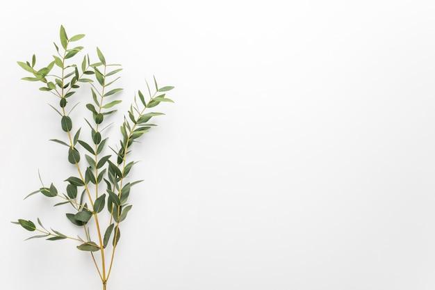 Branches d'eucalyptus sur fond blanc Photo Premium